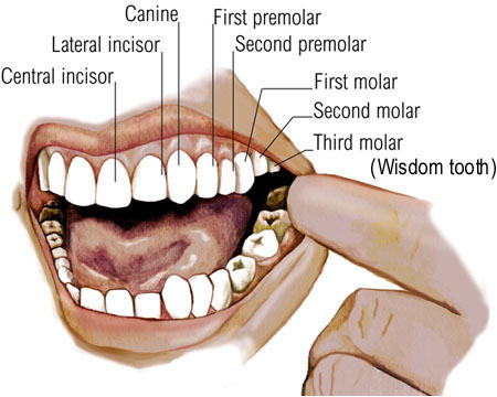 Our teeth guide to healthy teeth all about teeth teeth diagram ccuart Image collections